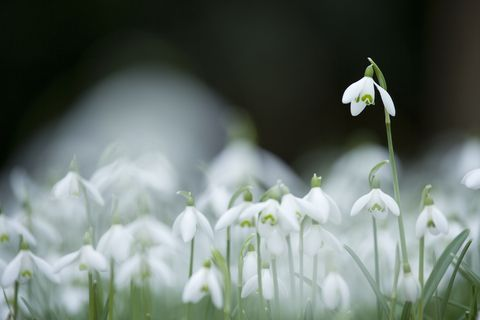 Plant, Flower, Snowdrop, Galanthus, Flowering plant, Petal, Spring, Pedicel, summer snowflake, Wildflower,