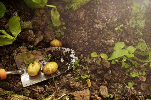 Soil, Produce, Fruit, Natural foods, Ingredient, Vegan nutrition, Whole food, Annual plant, Local food, Perennial plant,