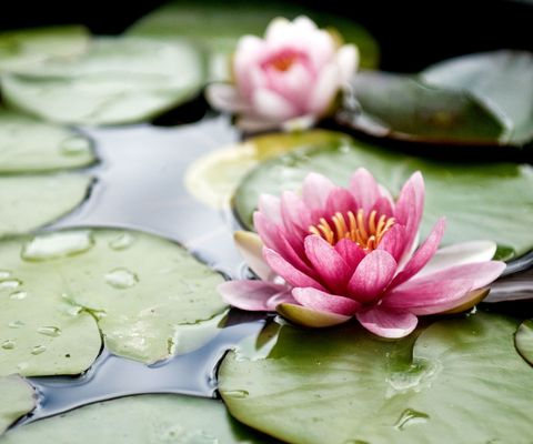 Flower, fragrant white water lily, Petal, Aquatic plant, Sacred lotus, water lily, Lotus, Lotus family, Pink, Plant,