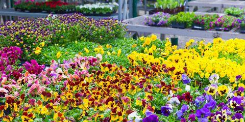 Plant, Flower, Garden, Petal, Purple, Shrub, Magenta, Groundcover, Violet, Annual plant,