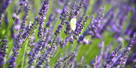 Flower, Flowering plant, Lavender, English lavender, Lavender, Purple, Plant, Lavandula dentata, Violet, Common sage,