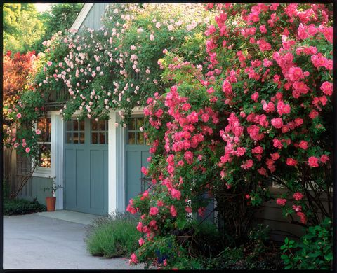 Plant, Shrub, Flower, Red, Pink, Petal, Garden, House, Door, Annual plant,