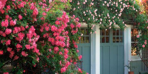 Flower, Plant, Pink, Shrub, Flowering plant, Tree, Rosa wichuraiana, Spring, Botany, Home,