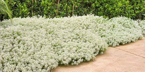 Plant, Flower, Grass, Groundcover, Shrub, Flowering plant, Subshrub, Herb, Alyssum, Evergreen candytuft,