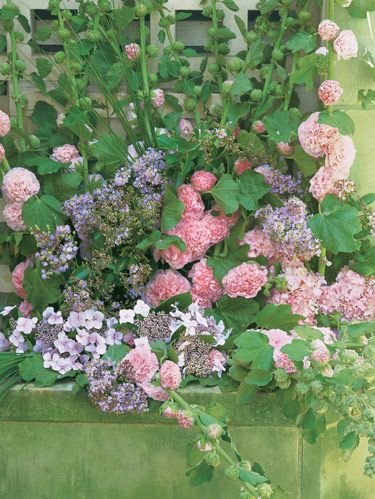 Powderpuff hollyhocks and lilac crape myrtle perch with lacecap hydrangea 'Mariesii' upon an aged stone ledge.