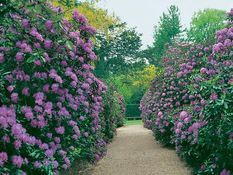 Flowering rhododendrons make billowy hedges at Newby Hall in Yorkshire, England.