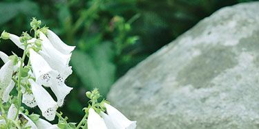 <i>Digitalis purpurea</i> 'Alba,' or white foxglove, softens an English staddle stone.