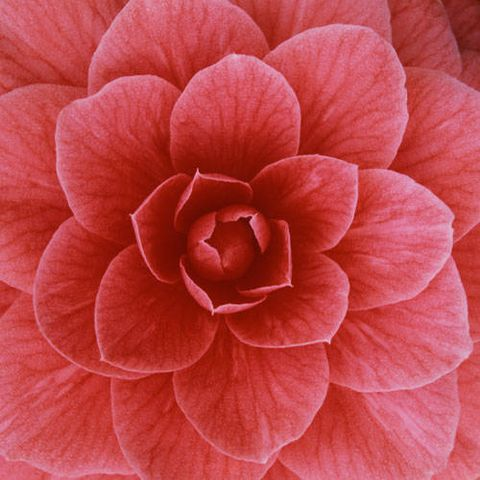 Petal, Flower, Red, Pink, Pattern, Colorfulness, Close-up, Annual plant, Symmetry, Herbaceous plant,