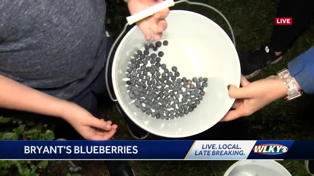 U-pick blueberry farm in New Salisbury Indiana open for season