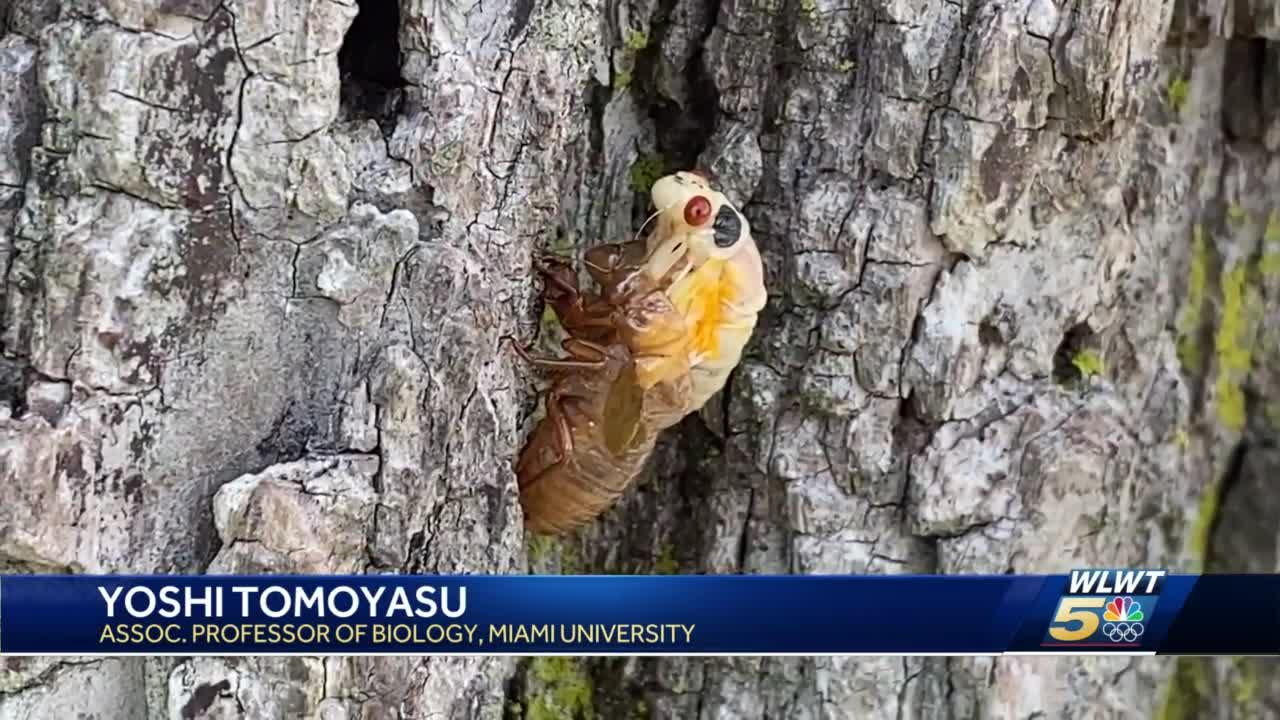 Cicadas around Miami University: A nuisance for some, educational experience for others