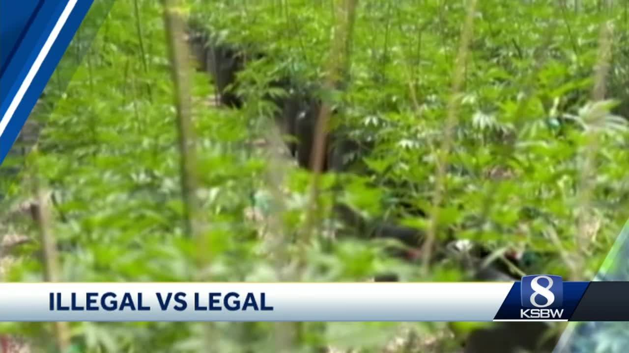 CA claims largest legal pot market in the world, black market even bigger