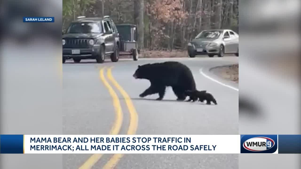 Mama bear and her babies stop traffic in Merrimack