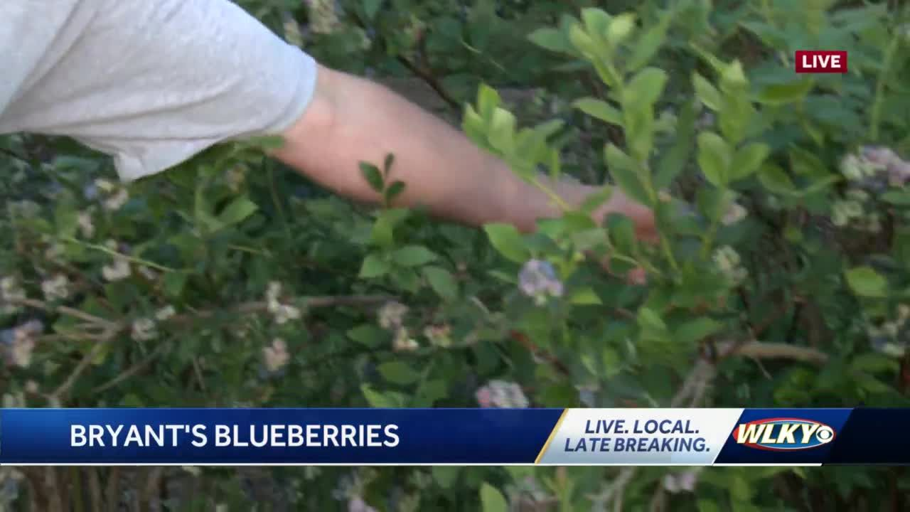 You can pick your own blueberries at this farm in Harrison Co. Indiana