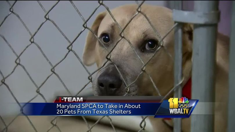 Maryland SPCA taking in dogs from Texas after Hurricane Harvey