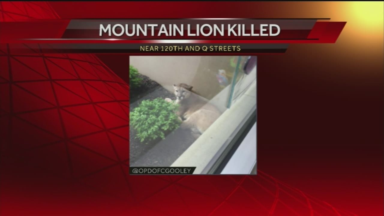 Mountain lion shot, killed outside metro office