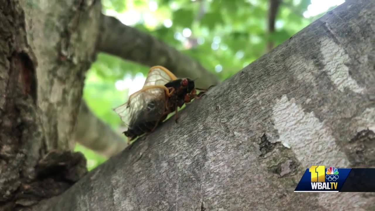 Cicadas emerging across Baltimore in greater numbers