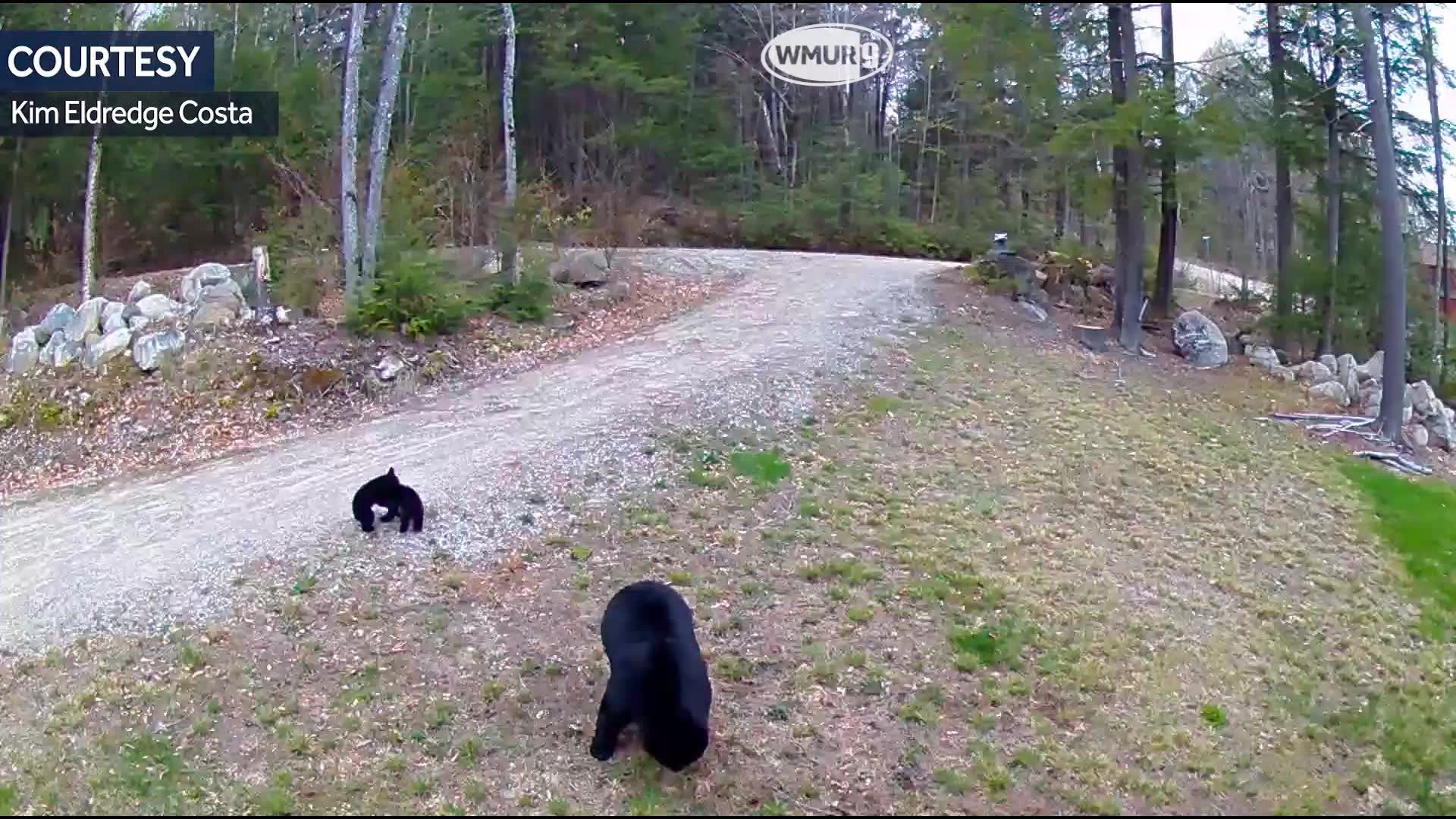 VIDEO: Rambunctious bear cubs in Carroll County
