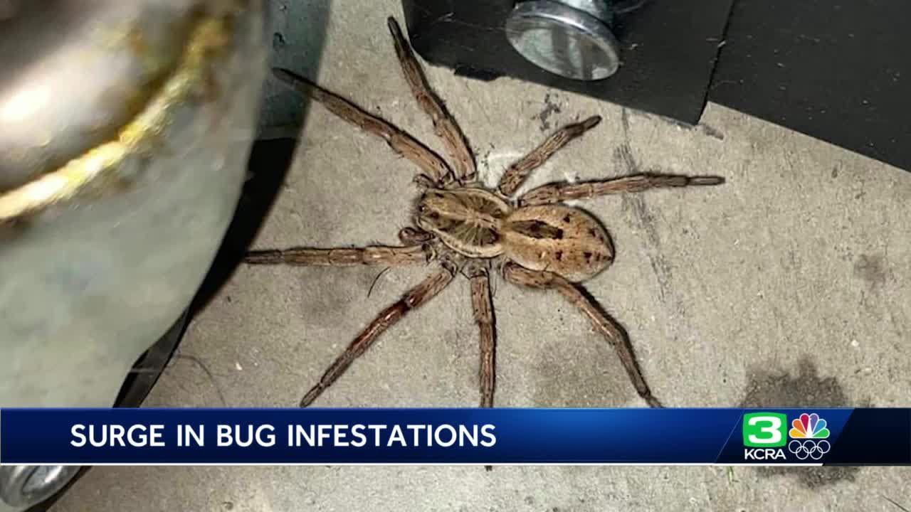 NorCal exterminators battle roach, spider surge as temps climb