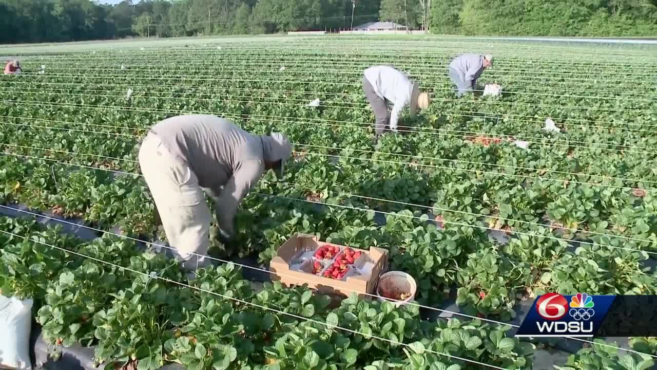 Northshore strawberry farmers hopeful about this year's crop despite winter weather