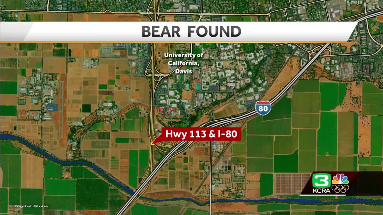 Bear struck by car after sighting in UC Davis area