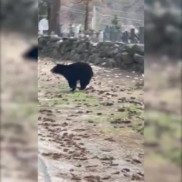 Mama bear stops traffic, guides cubs across street