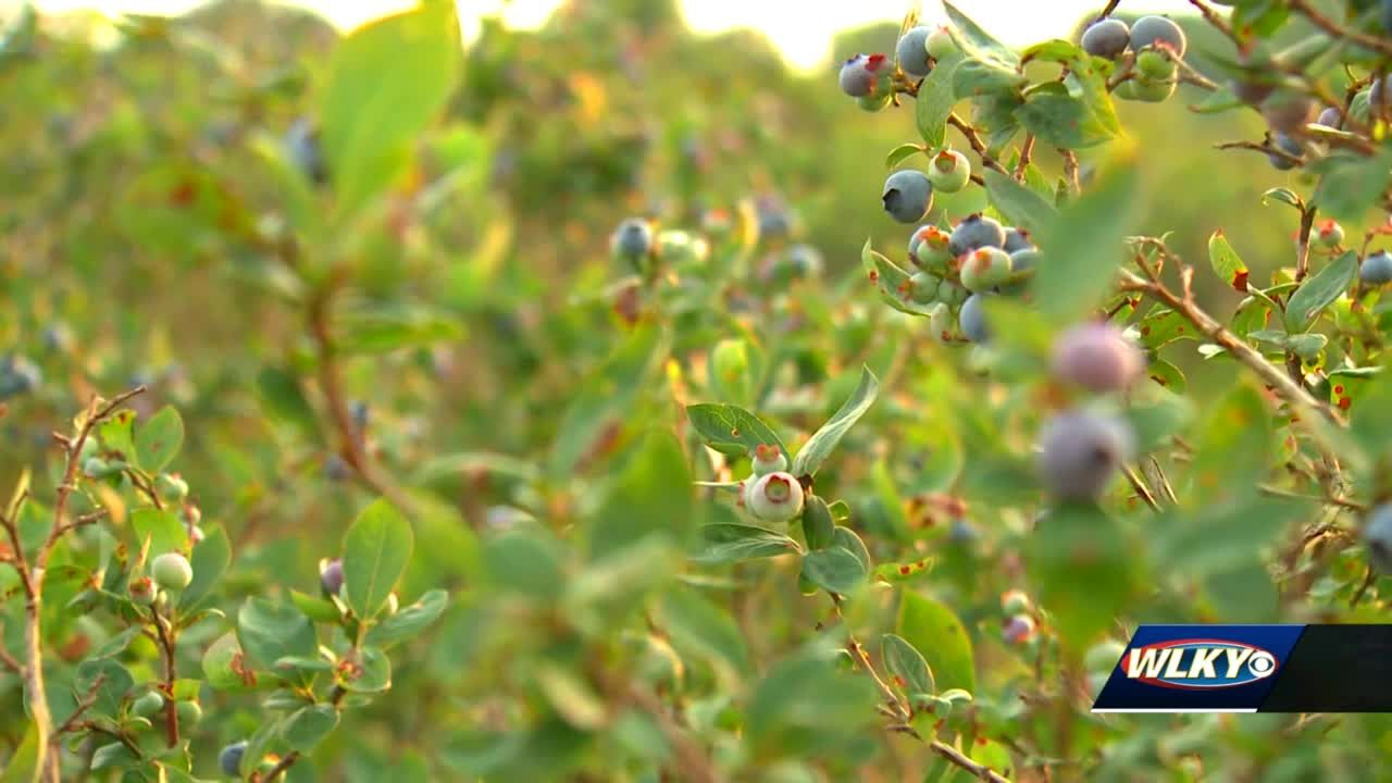 A you pick blueberry farm is southern Indiana is ready for opening weekend
