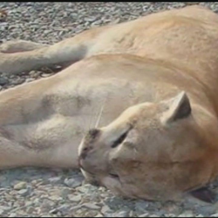 Mountain lion killed in Arkansas