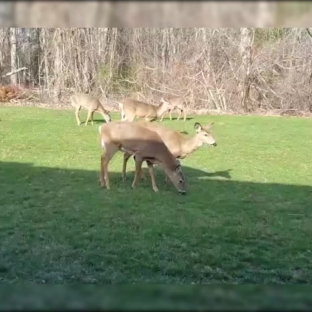 WATCH: Deer taking care of lawn in Portsmouth