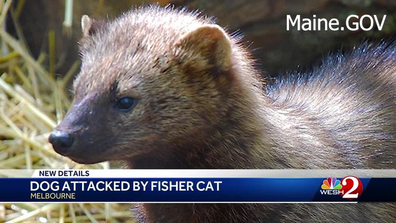 Fisher Cat Being Blamed For Death Of Pets In Brevard County