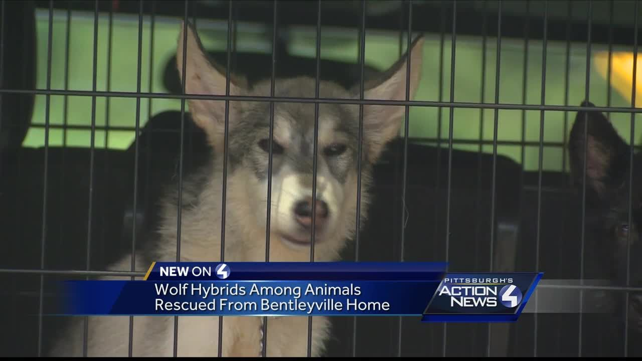 Wolf hybrid puppies for sale in ohio - Wolf Hybrid Puppies For Sale In Ohio 54