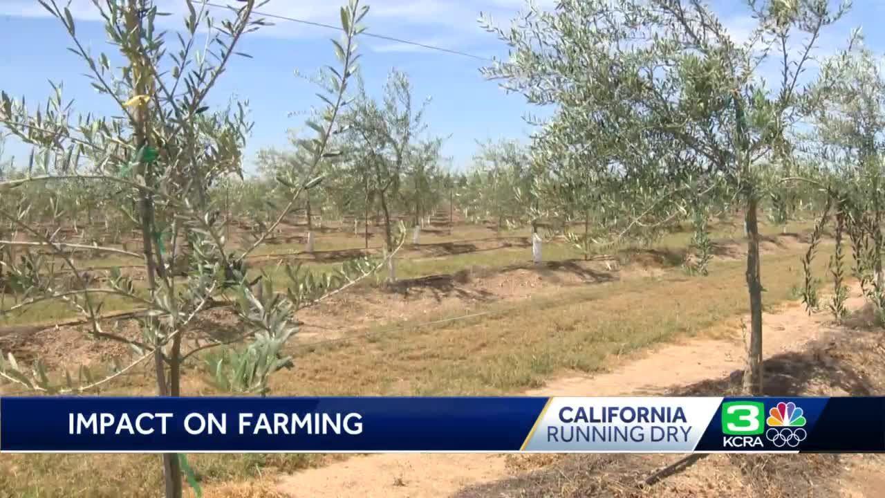 Running Dry Olive Farming