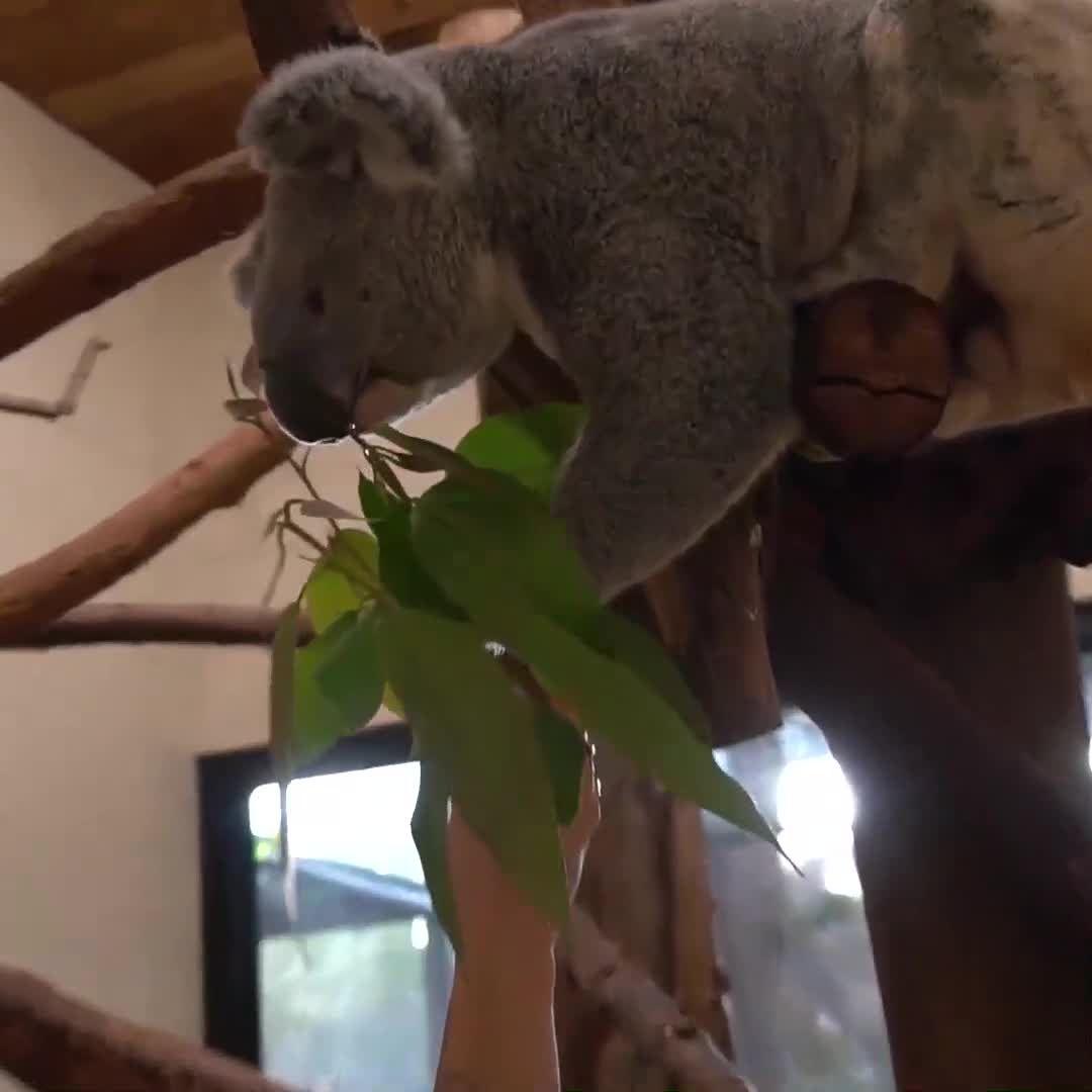 New koala arrives at Palm Beach Zoo