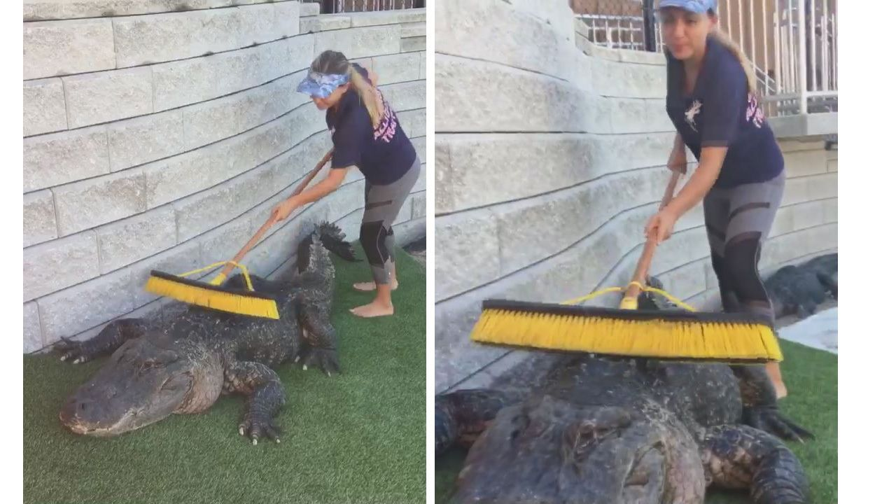 Watch: Caretaker scrubs giant alligator's back with push broom