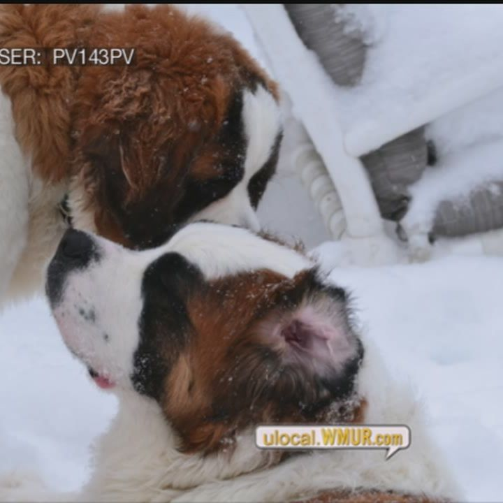 U local Hot Shot: Saint Bernards