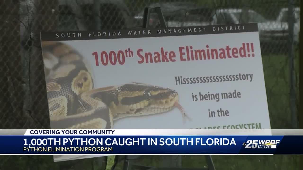 Florida Snake Hunters Have Now Killed 1 000 Burmese Pythons
