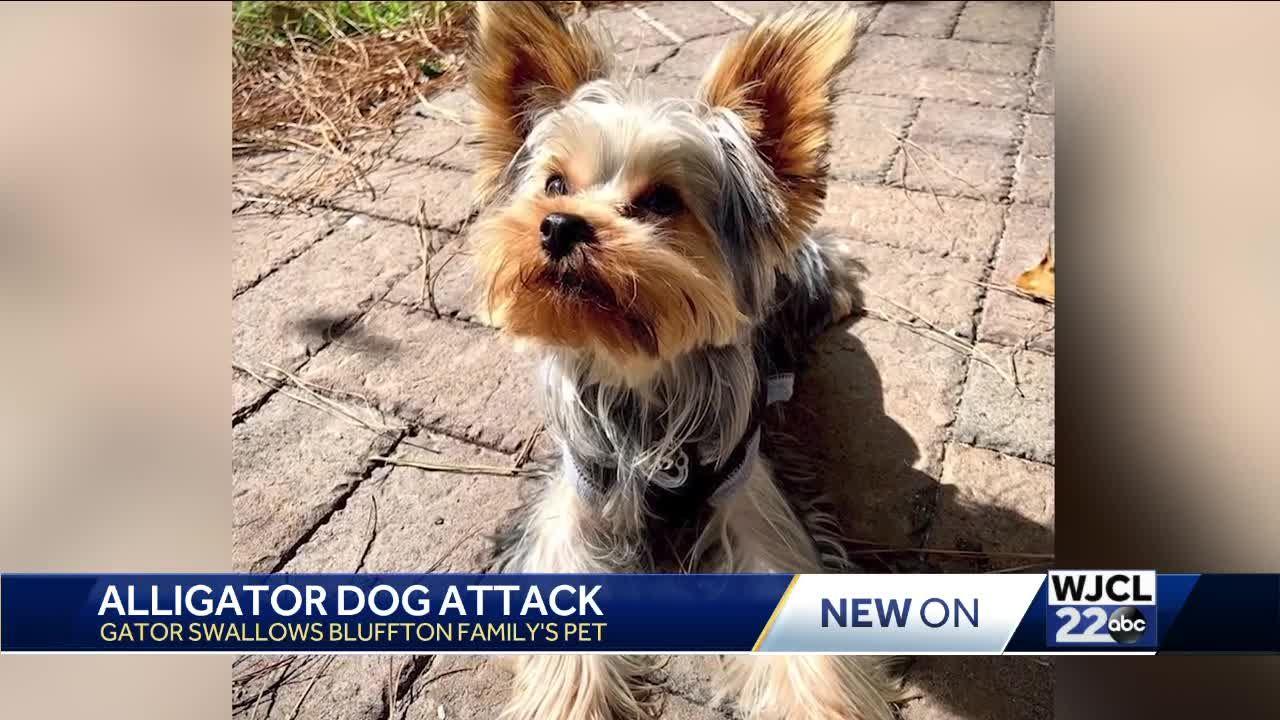 Alligator Dog attack