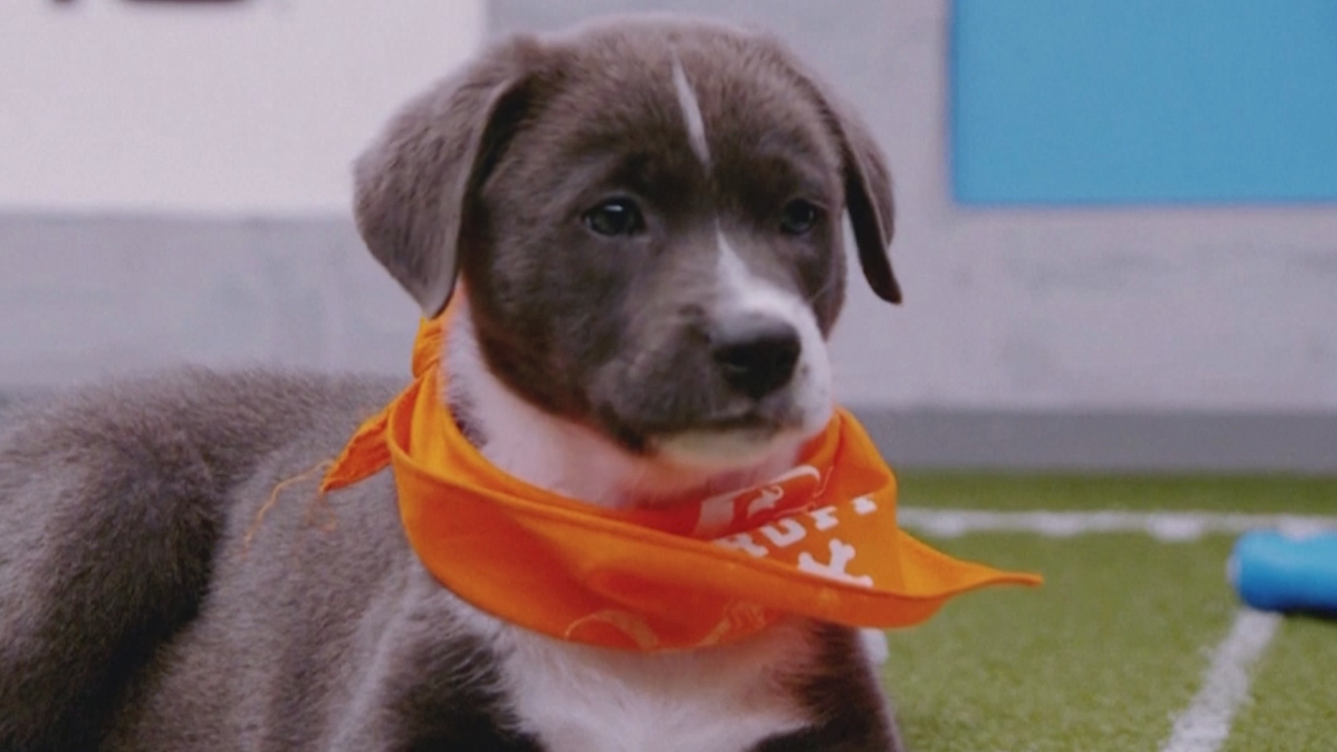 Team Fluff Is The Winner Of The 2020 Puppy Bowl