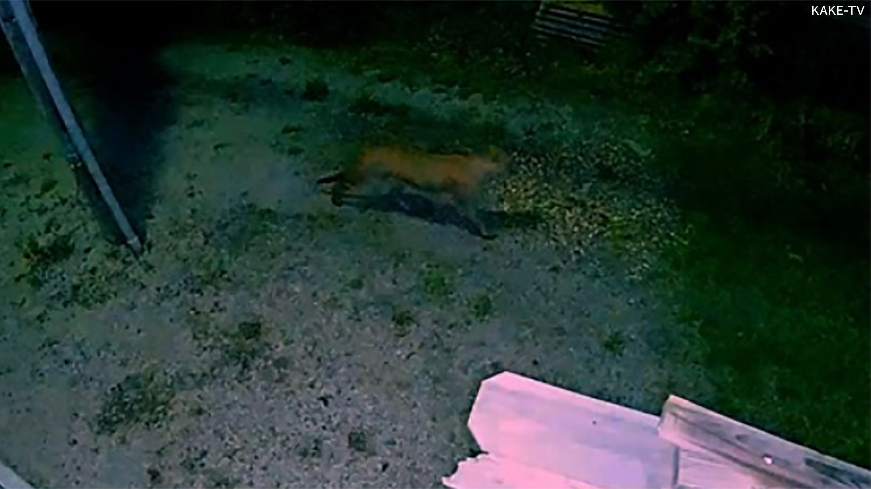 First confirmed mountain lion sighting in populated area of Kansas caught on camera