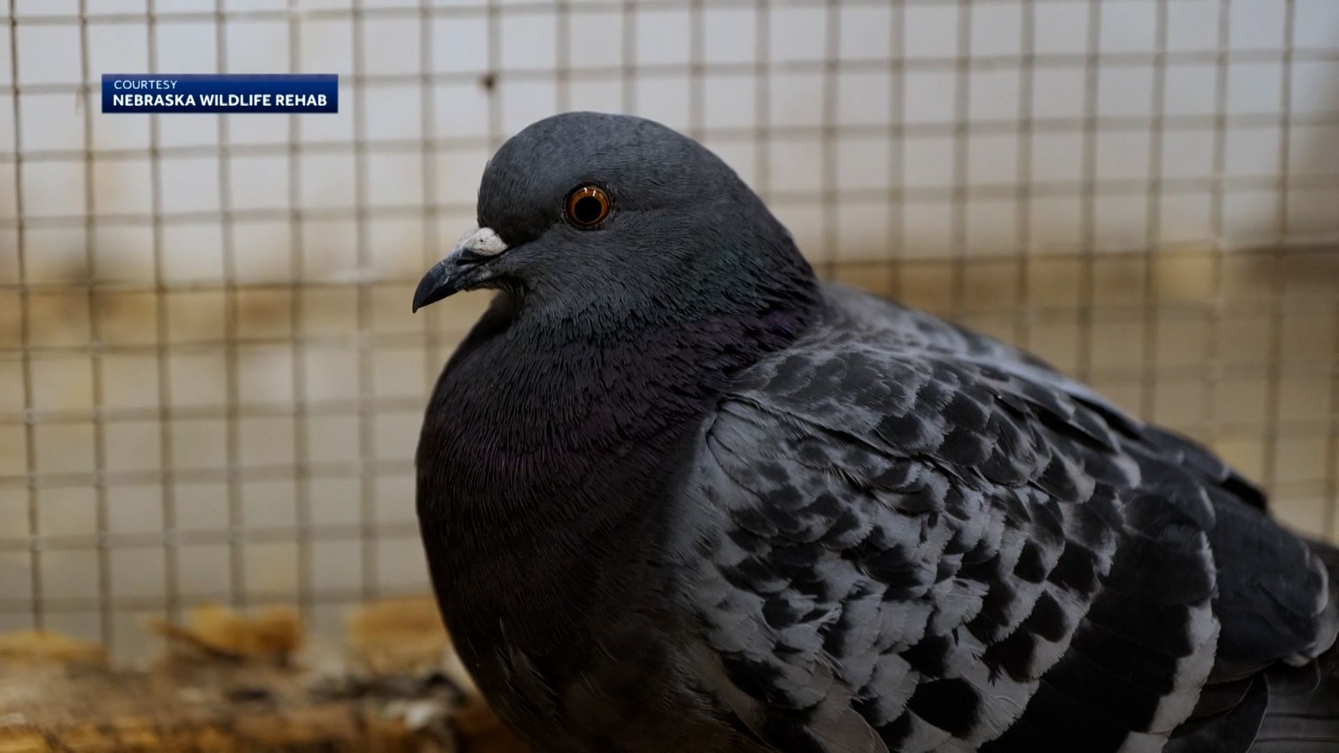 Family saves freezing pigeon: 'We traded a couple hours of our lives' for a few more of his