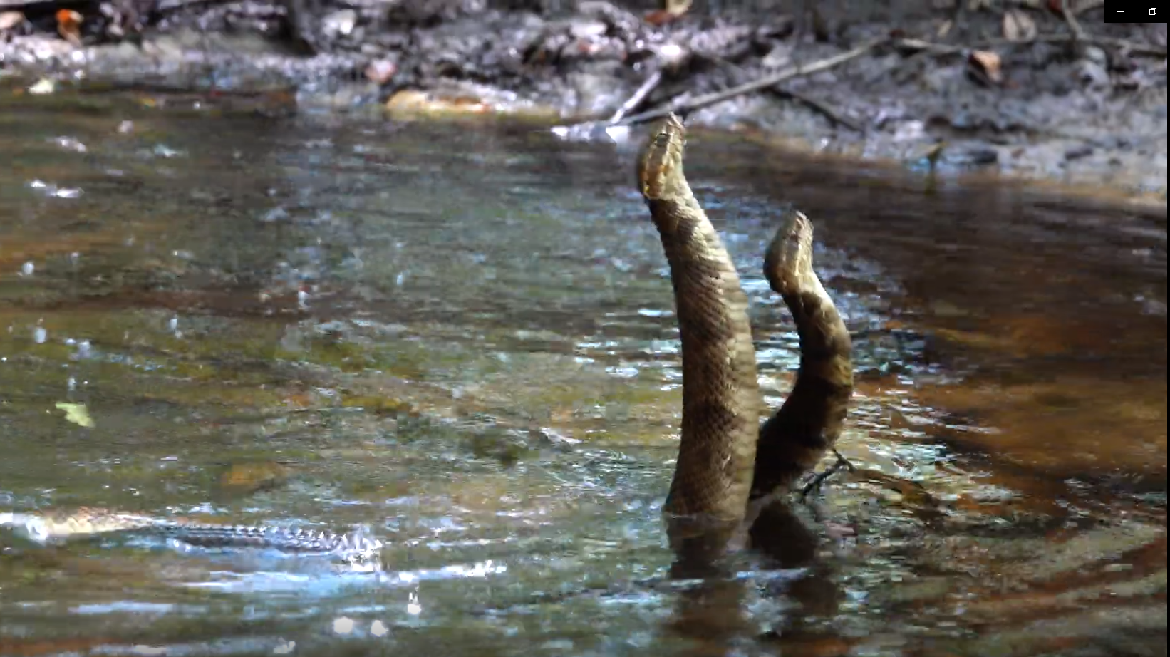 DNR: Male cottonmouth snakes wrestle for dominance in Bulloch County swamp