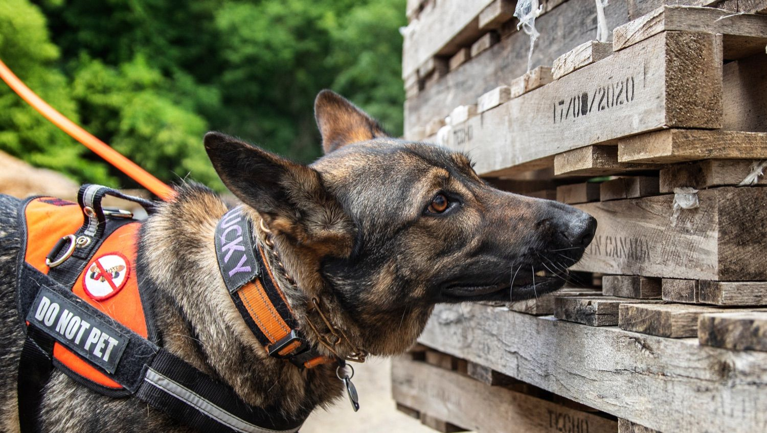 Pennsylvania has nation's first spotted-lanternfly-sniffing dog