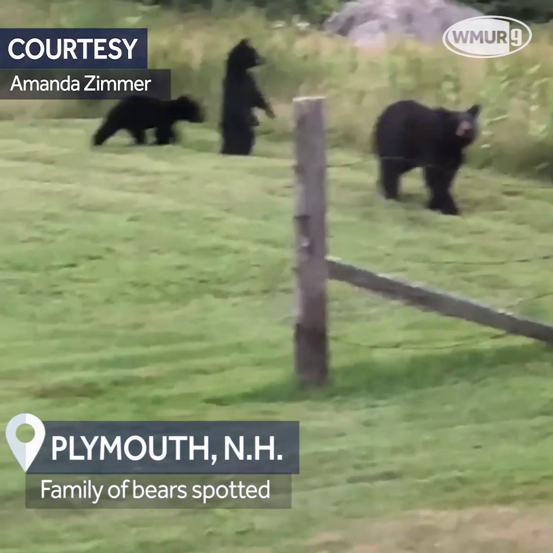 Watch: Family of bears in Plymouth
