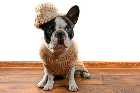 Wood, Brown, Floor, Dog, Flooring, Carnivore, Hardwood, Dog breed, Terrestrial animal, Snout,