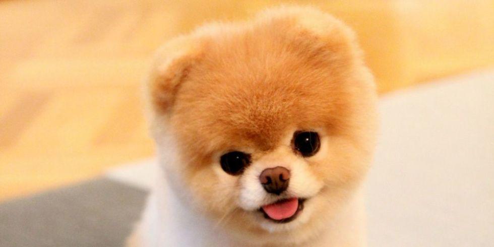 Great Spitz Canine Adorable Dog - landscape-1430251862-boo-dog  2018_109638  .jpg?resize\u003d768:*