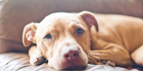 Dog breed, Brown, Skin, Dog, Carnivore, Mammal, Comfort, Snout, Liver, Terrestrial animal,