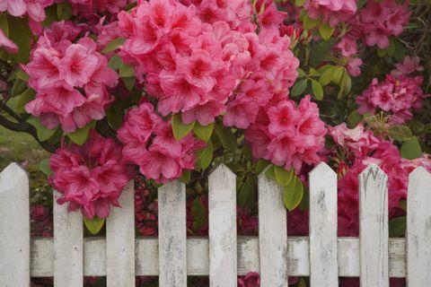 Picket fence, Flower, Petal, Shrub, Pink, Home fencing, Fence, Subshrub, Annual plant, Perennial plant,