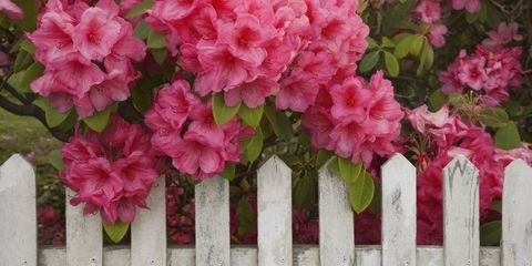 Petal, Flower, Pink, Picket fence, Shrub, Home fencing, Fence, Subshrub, Annual plant, Pink family,