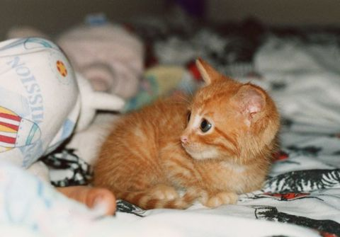 Whiskers, Carnivore, Cat, Felidae, Small to medium-sized cats, Comfort, Fawn, Linens, Peach, Fur,
