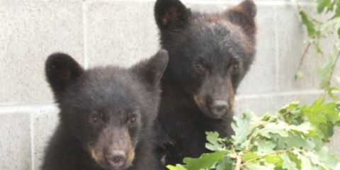 Bear Cubs