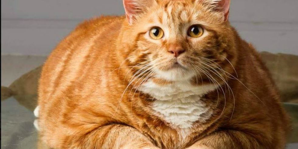 A Severely Overweight 41 Pound Cat Named Skinny Finally